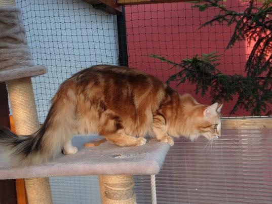 Xenia vom Bergwald, Norwegische Waldkatze, amber-tabby-classic Njola vom Bergwald, ambertabby-spotted, Norwegische Waldkatze, fast drei Jahre alt
