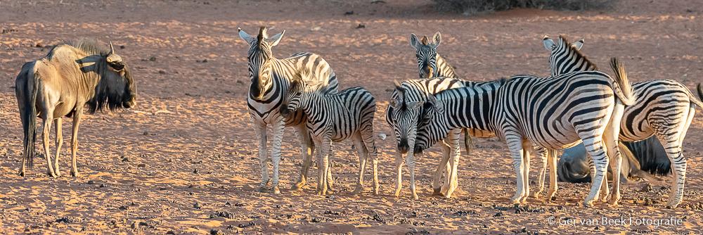 Steppe zebra's en Blauwe gnoe's