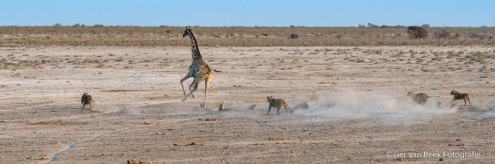 Jacht op Zuidelijke giraffe