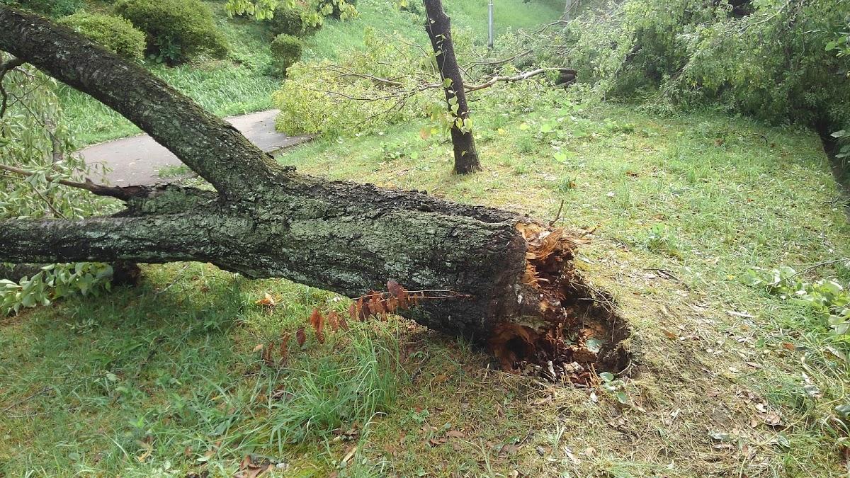 50年近い桜の木が根っこが折れている。