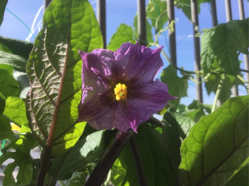 夏野菜 なすびの花 多くの人は花を見ることはありません。