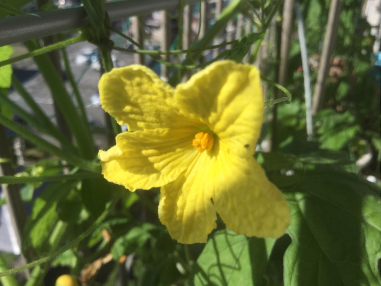 苦瓜の花 カボチャ・ヘチマ・苦瓜の花はよく似ています。