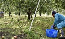台風で落下したリンゴを拾う