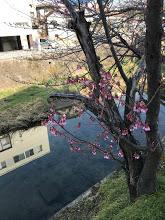 彼岸桜が咲きました。