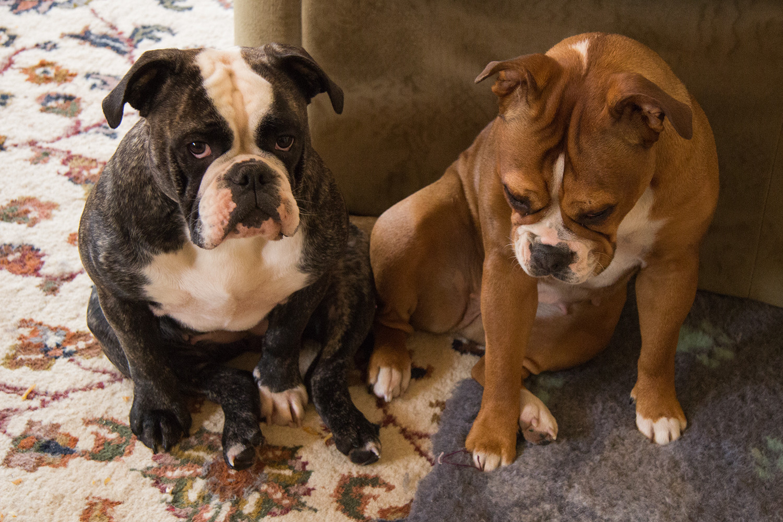 Listenhund Kampfhund Ordnungsamt Phänotypisierung Caralott