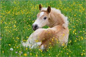 Irische Pferde Vermittlung