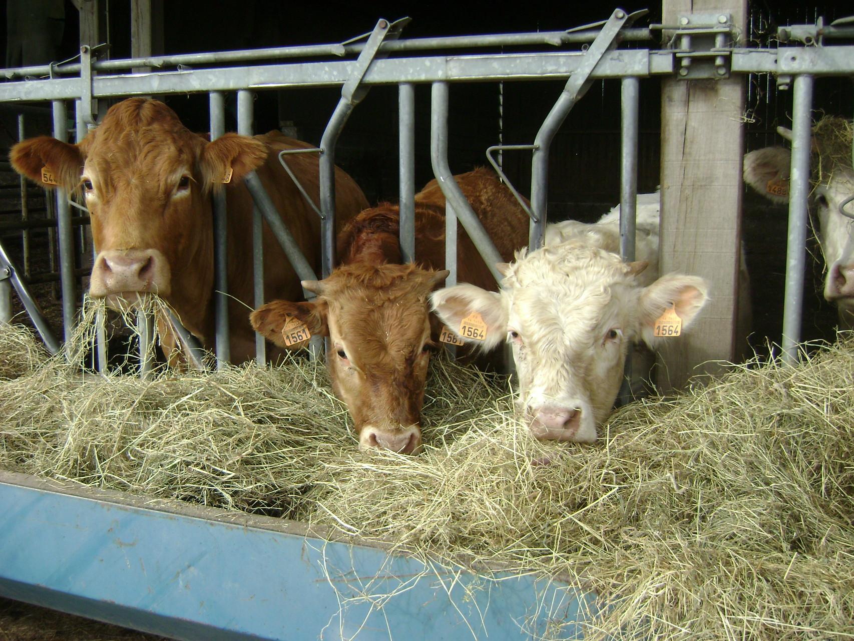 Les vaches mangeant au cornadis leur ration hivernale foin et enrubannage