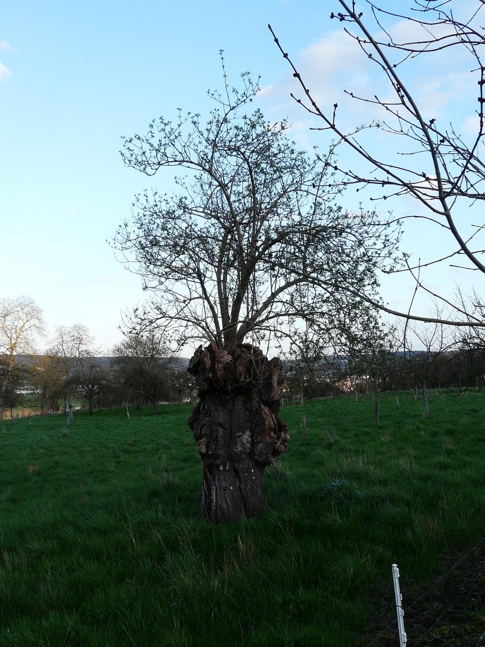 Un sureau a poussé dans un arbre malade, Saint-just L'Eure  SUREAU (= sur l'eau)