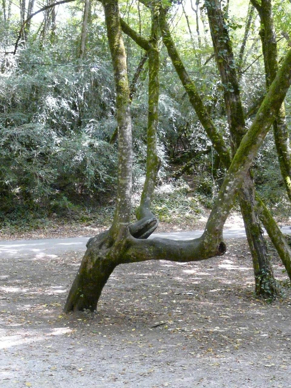 Branches mortes, tronc penché, branches montantes décalées du pied = présence d'ondes nocives
