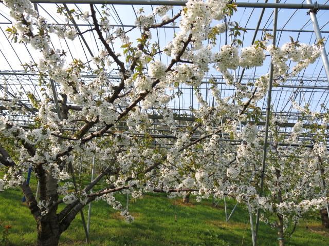 さくらんぼは桜科