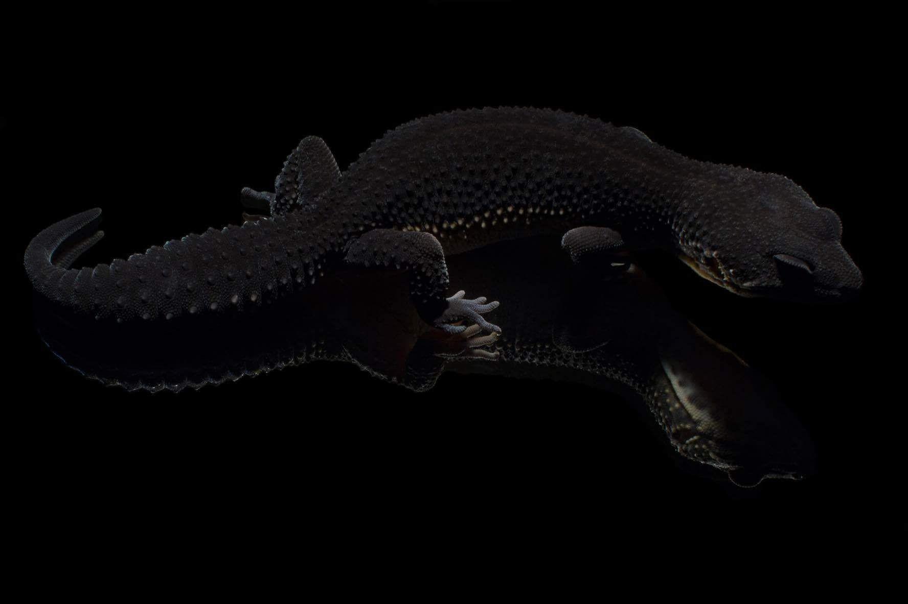 """Fallstudie1/3: Kennst Du die """"Black Nights""""? Sie sind eine schwarze Farbform der Leopardgeckos. Ferry Zuurmond hat 15 Jahre mit dunklen Tieren gezüchtet und die Nachzuchten erst angeboten, als sie das gewünschte Zuchtziel hatten."""