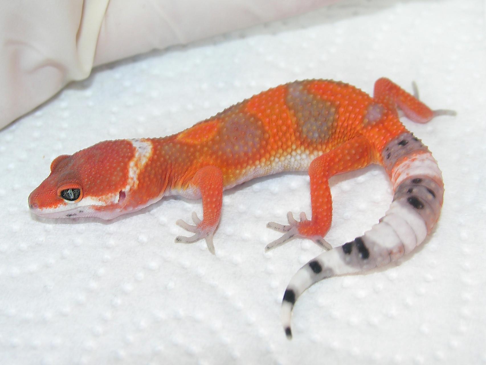 Fallstudie 2/3: Kelli Hammack hat intensiv und langjährig mit einer Tangerine Linie gezüchtet. Der hohe orange-rot Anteil macht diese Electric Tangerines besonders attraktiv.