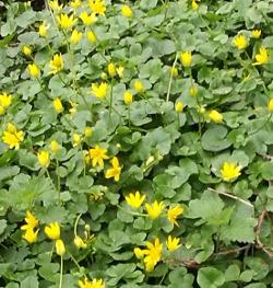 Scharbockskraut, ab der Blüte lieber nur dran erfreuen