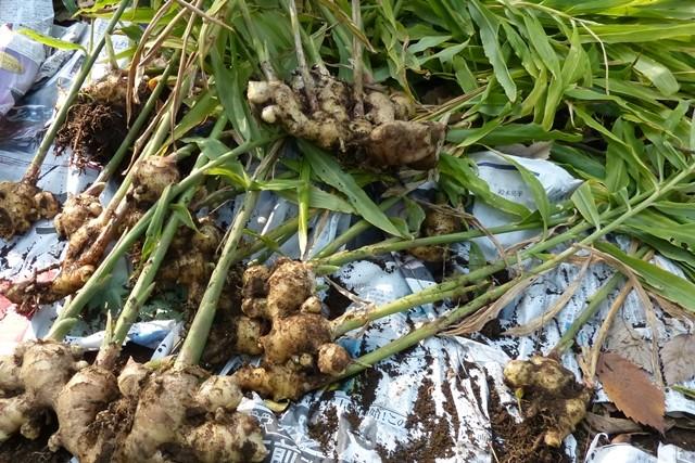 菜園にできた生姜