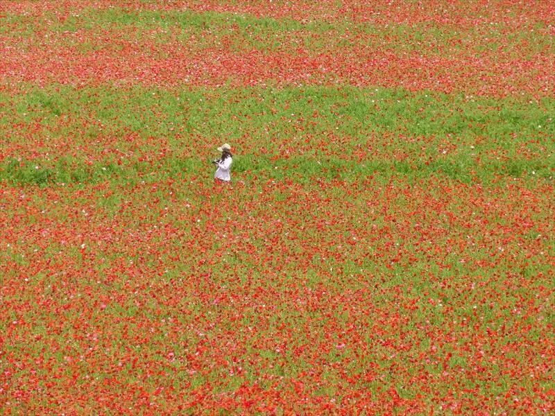 ヒナゲシの花畑