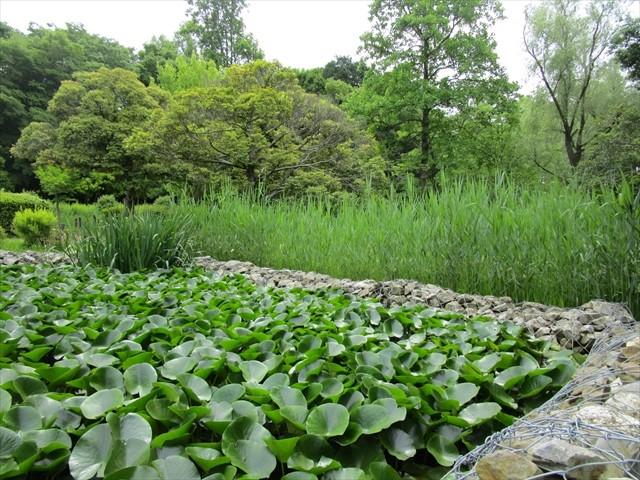 水生植物園の花菖蒲田には芦が生茂っていました