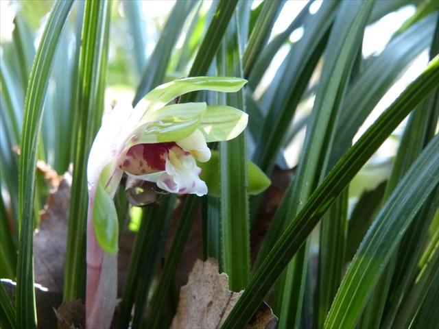 シュンランの花