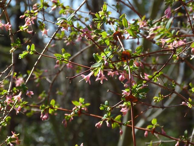 ウグイスカグラの花