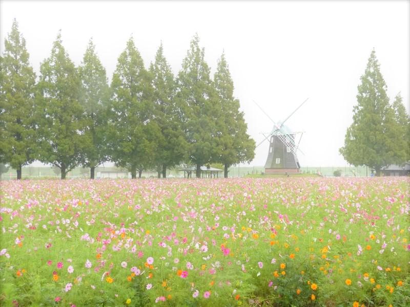 満開のコスモス畑は雨に煙っていました