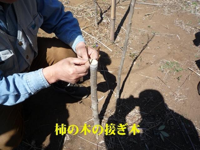 程よく育った柿の苗木に接ぎ木をします