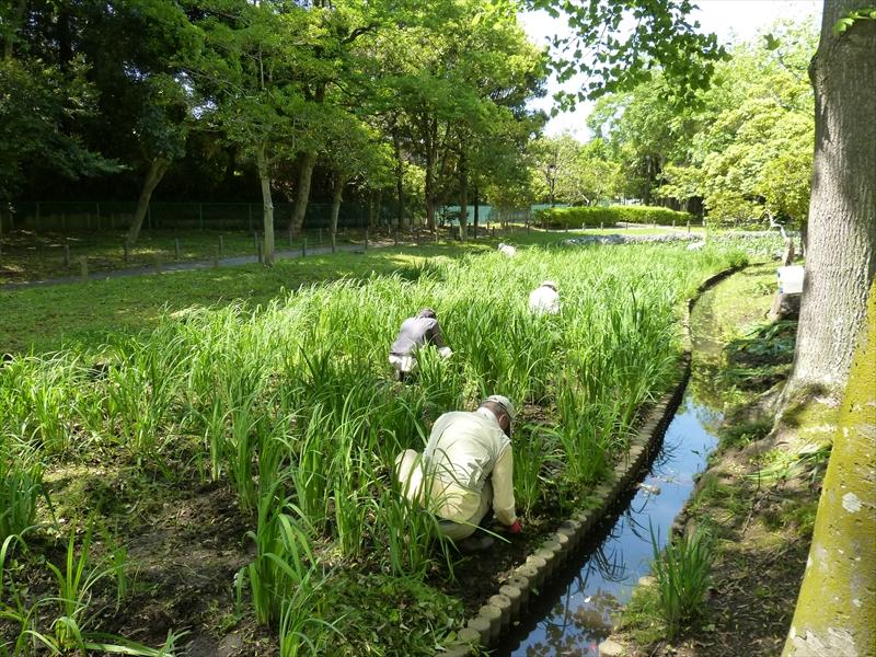 キショウブや雑草の除去に汗を流す
