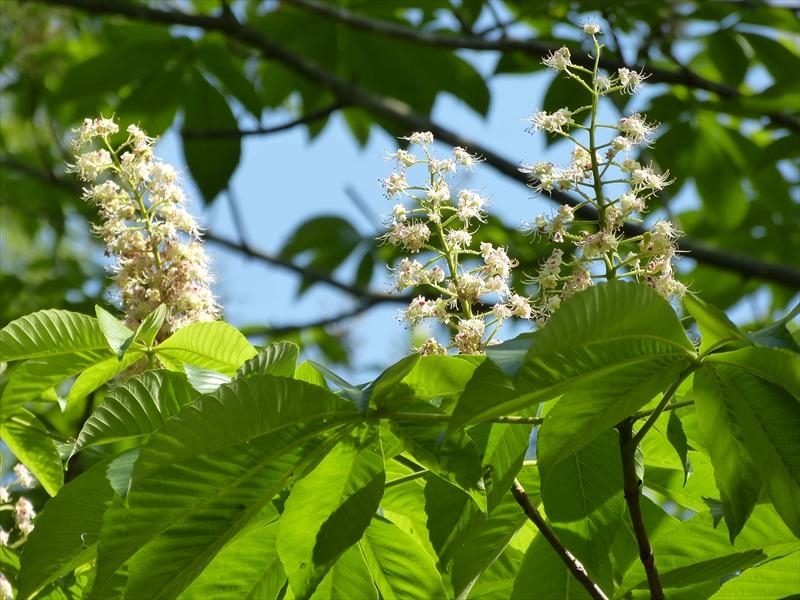 頭上に咲くトチノキの花