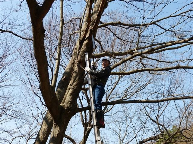 高木の枯れ枝を処理