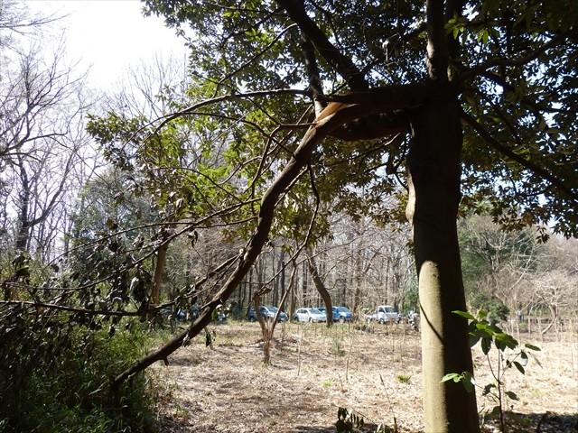 大風で折れたシロダモの太枝