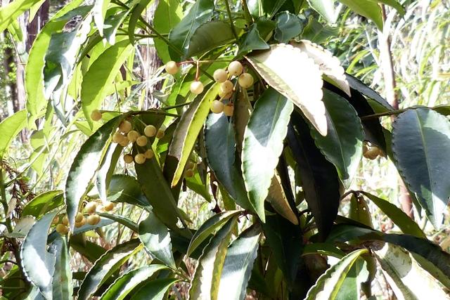 白い実のマンリョウ。鳥に食べられていません。