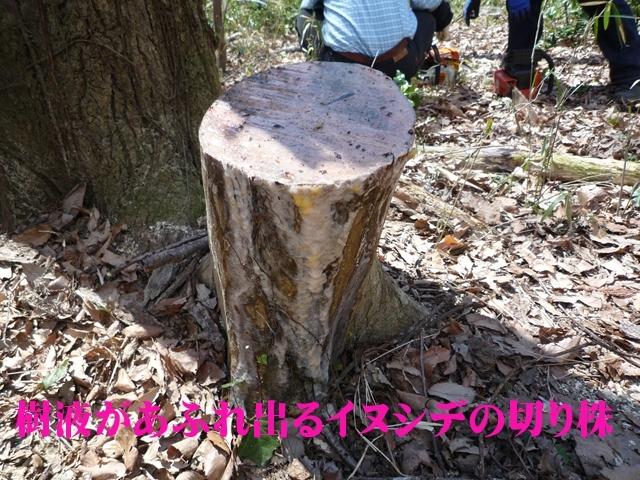 イヌシデの切り株から樹液があふれています