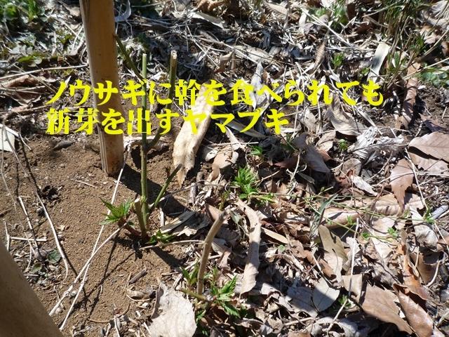 ノウサギにかじりとられたヤマブキの根本から新芽が伸びてきています