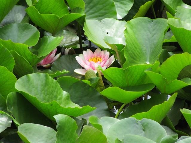池には葉の合間にスイレンの花が咲いていました