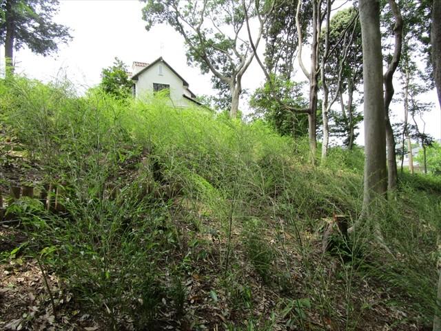 竹伐採跡に細い竹が生えてきていました(5月22日)