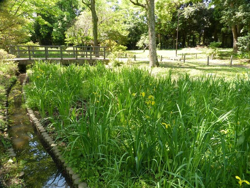ハナショウブの中に雑草が茂る