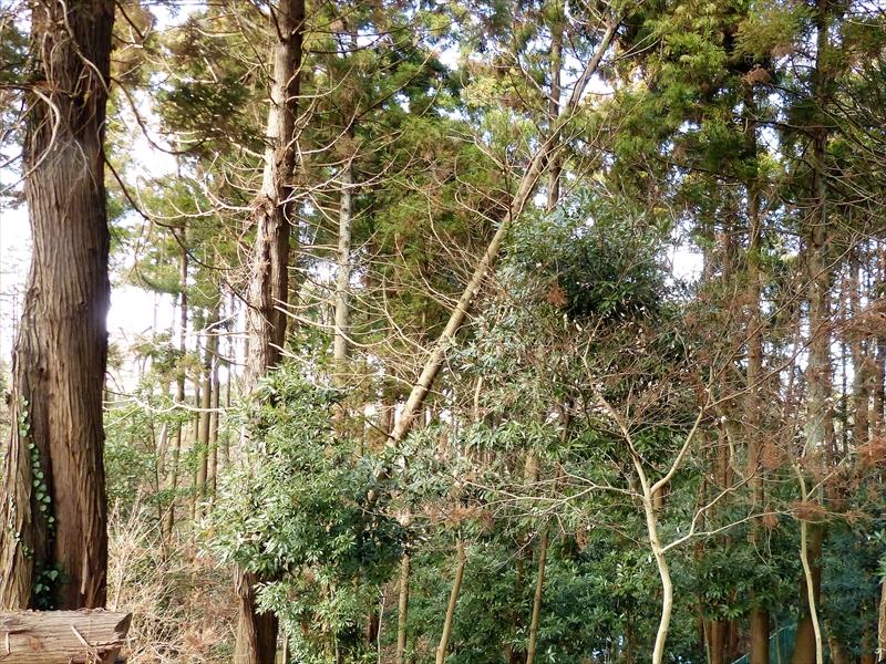 折れた杉の木全景