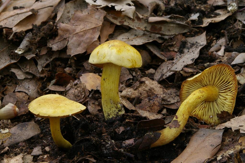Tricholoma sulphureum
