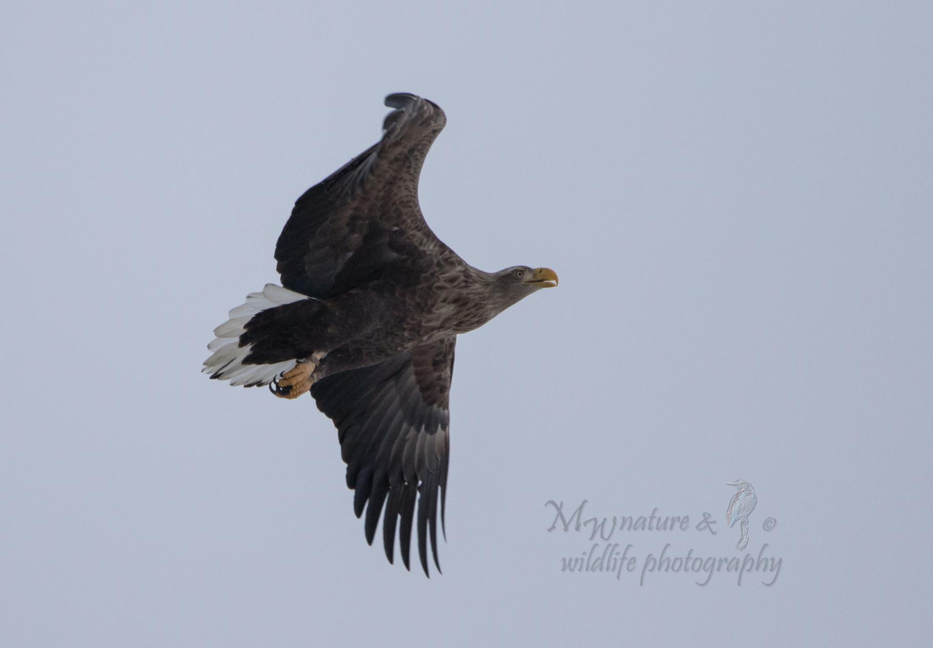 Seeadler / sea eagle(Haliaeetus albicilla)
