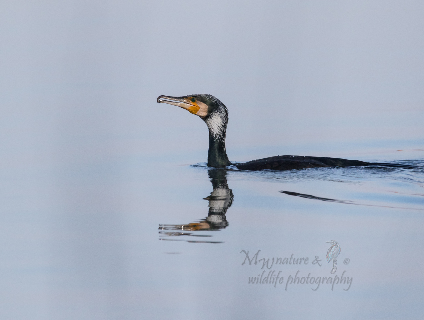 Kormoran / Cormorant (Phalacrocorax carbo)