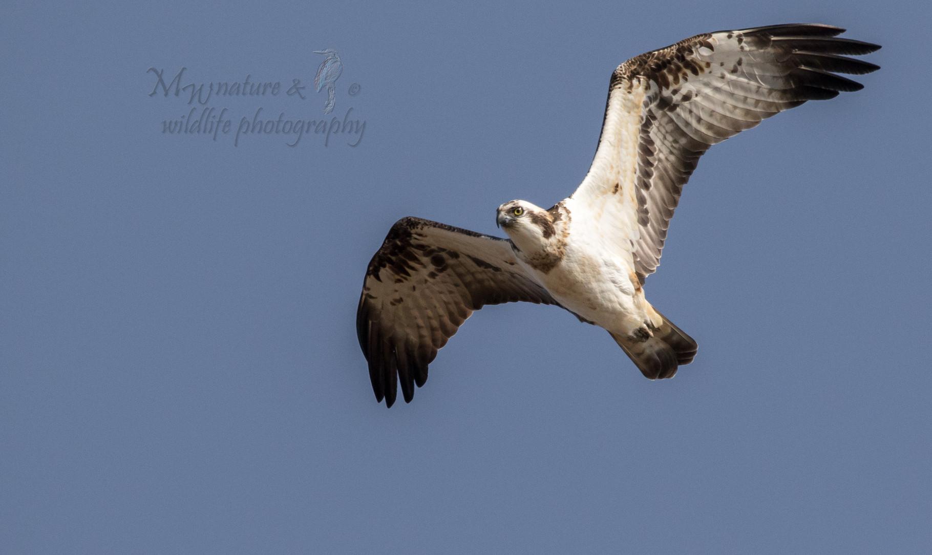 Fischadler / osprey (Pandion haliaetus)
