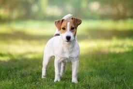 Der Jack Russel Terrier