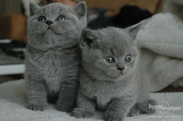 Die Britisch-Kurzhaar-Katze(BKH)