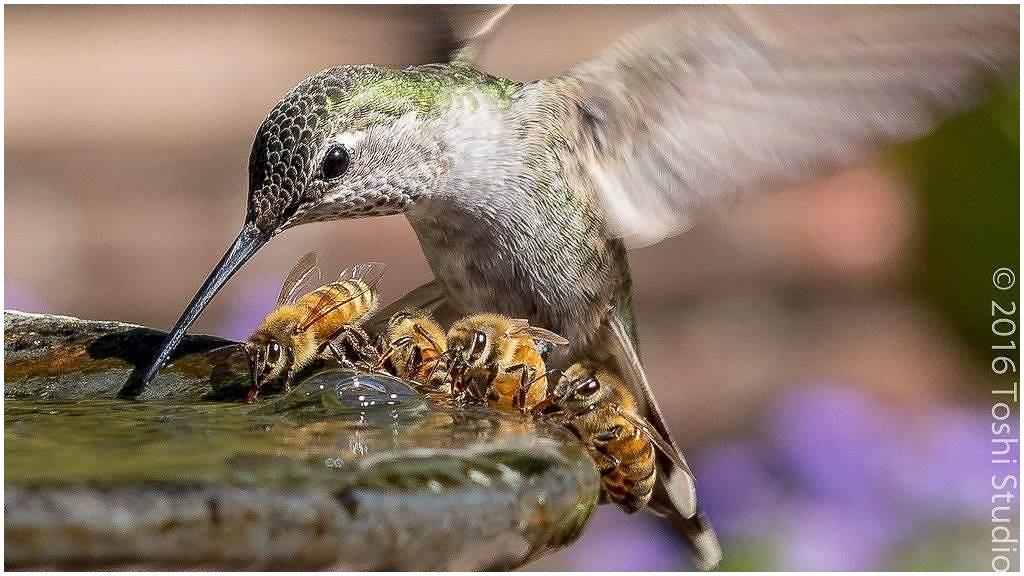 Colibri n'est pas seul...