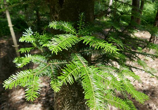 Nadelbaum Terpene