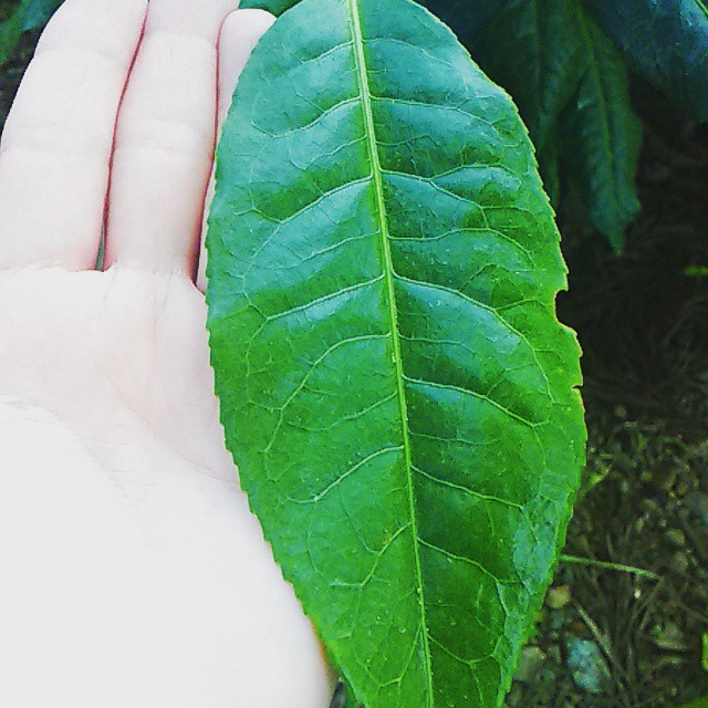 ボルネオ島 無農薬栽培 アッサム種
