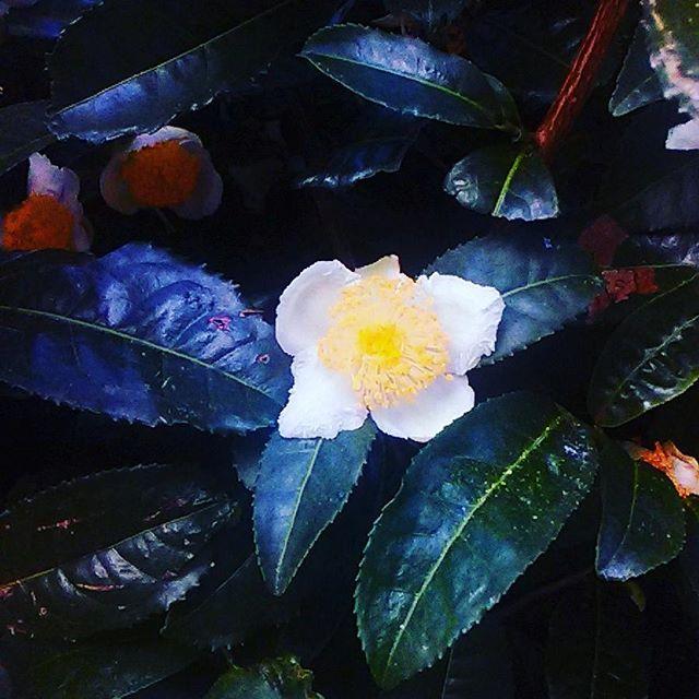 茶の花 長崎 東彼杵 大山製茶園さんの茶園にて撮影