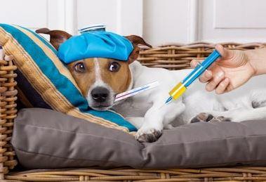 La vaccination des chiens est importante