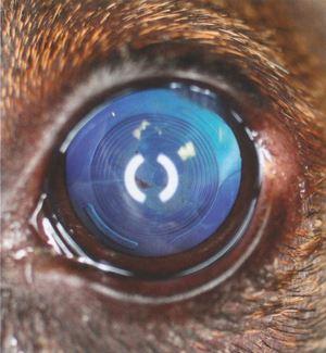 Aspect d'un œil après chirurgie de la cataracte et pose d'un cristallin artificiel. Le chien retrouve la vision.