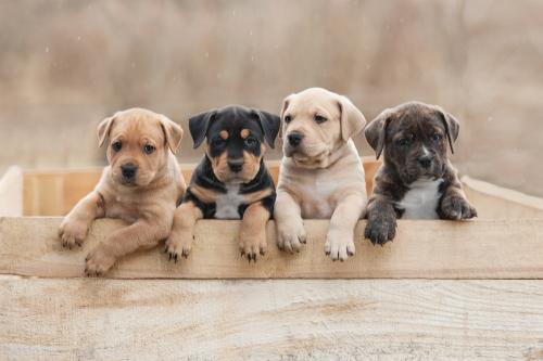 Quatre petits chiots adorables