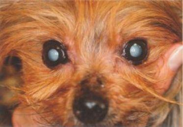 Cataracte bilatérale chez un chien : celui-ci est complètement aveugle