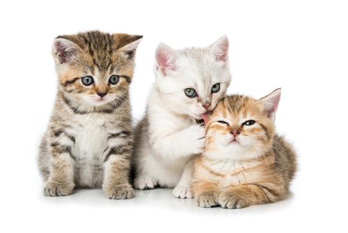 Trois chatons si mignons avec leur fourrure douce et duveteuse